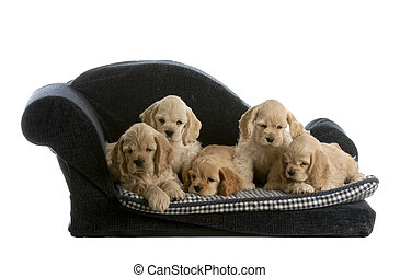 litter of puppies - litter of cocker spaniel puppies on a...