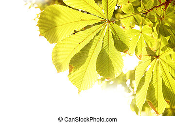 Yellow leaves of chestnut - Leaves of chestnut isolated with...