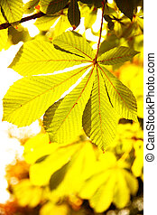 Leaves of chestnut in sunlight. Shallow DOF!