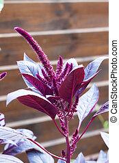 (amaranthus,  amaranth,  cruentus), rojo