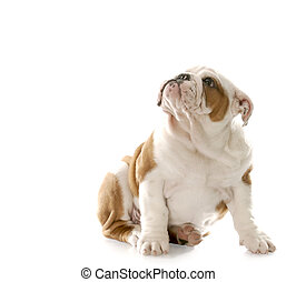 guilty looking puppy - english bulldog puppy sitting down...