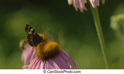Buterfly on a Echinacea flower - Butterfly collects nectar...