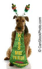 st patricks day dog - airedale terrier dressed up for st....