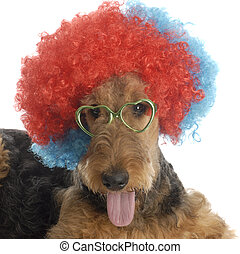 funny dog - airedale terrier wearing colorful clown wig and...