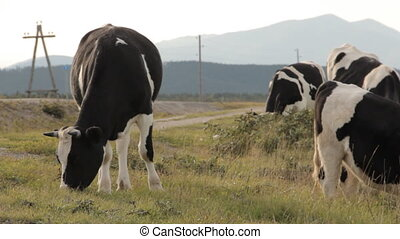 Three cows grazing by a road. One being in the center....