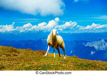 Mountain alpine pastures in the Slovenian. Sheep in the...