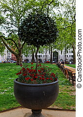 Berkeley Square. London. UK. - Red flowers and ficus in a...