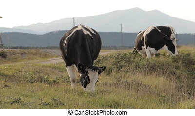 Mother-cow poking its calf with horns and washing it with...