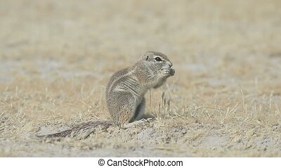 Cape ground-squirrel, Xerus inauris, Single mammal on floor,...