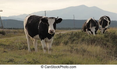 Three cows grazing by a road. One looking straight into the...