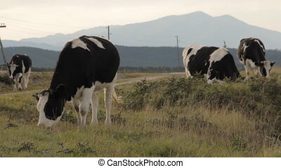 Four cows grazing by a road. Against the mountains.