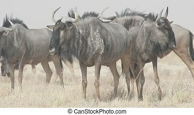 Blue Wildebeest, Connochaetes taurinus, group of mammals,...
