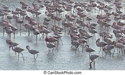 Greater flamingo, Phoenicopterus ruber, large flock at...