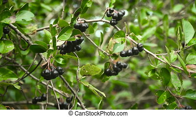 Chokeberry branch in autumn. - Branch of the ripe berries of...