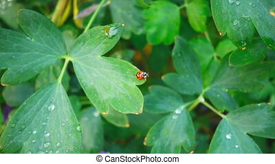 Ladybug takes off, slow motion - Ladybird takes off from the...