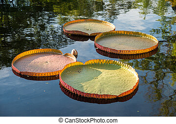 Victoria amazonica lotus floating on water