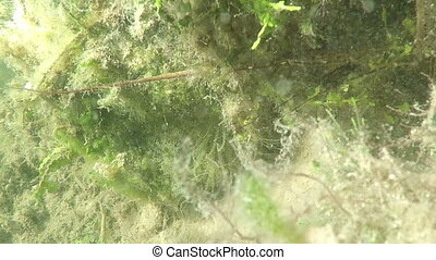 Lobster and anemone Fl Keys - underwater Lobster and anemone...