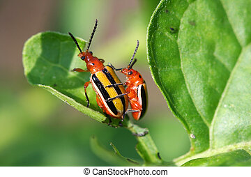 Three-lined Potato Beetle  Lema trilineata mating on leaf