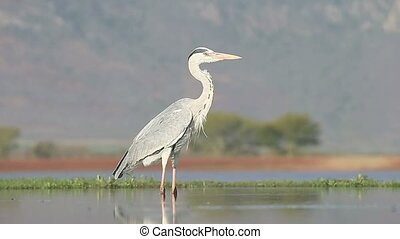 Grey heron, Ardea cinerea, single bird in water, South...
