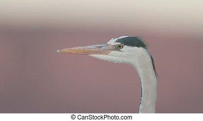 Grey heron, Ardea cinerea, single bird in water, South...