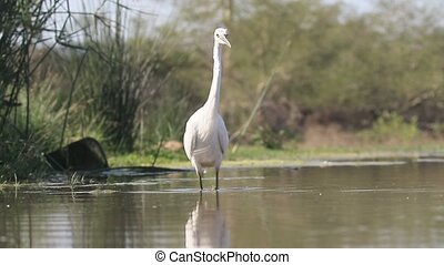 Little egret, Egretta garzetta , single bird in water, South...