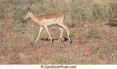 Impala, Aeplyceros melampus, single mammal, South Africa,...