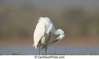 Little egret, Egretta garzetta , single bird by water, South...