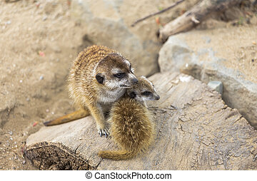 Two meerkat adult and kid sitting next to each other on a...