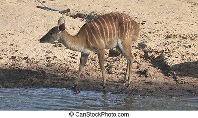 Nyala, Tragelaphus angasii, single female, South Africa,...