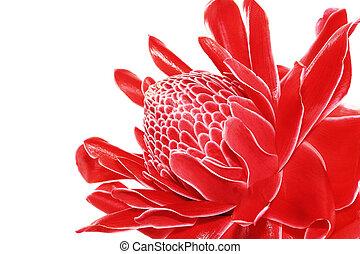 Torch Ginger, Etlingera elatior, zingiberaceae flower...