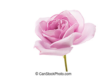purple rose on a white background