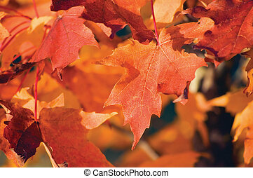 Acer grandidentatum Nutt. bigtooth maple closeup In Autumn -...