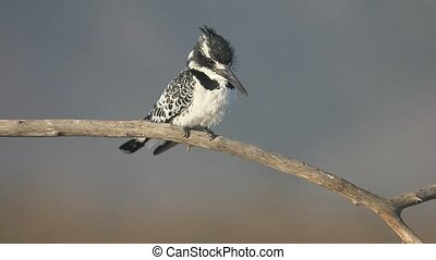 Pied kingfisher, Ceryle rudis, single bird on branch, South...