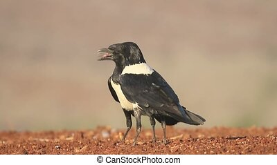Pied crow, Corvus albus, single bird on ground, South...