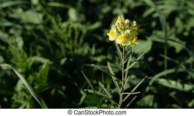 Yellow Toadflax blooming in grassland - Linaria vulgaris....