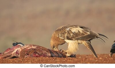 Tawny eagle, Aquila rapax, single bird on ground, South...