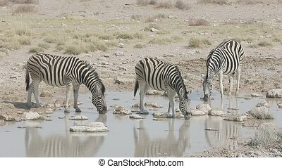 Plains zebra, Common zebra or Burchells zebra, Equus quagga,...