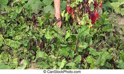Old woman hands tearing harvesting bunch of beets in garden....