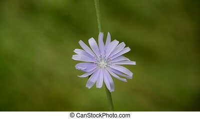 One flower of chicory close up - One flower of a chicory...
