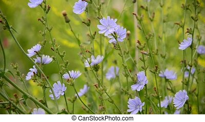 blooming chicory sways in wind - blooming chicory sways in...