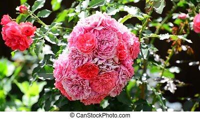 Abundantly flowering bush of pink roses