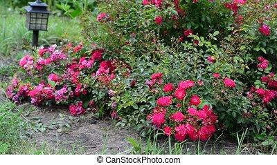 Abundantly flowering bush of pink roses - Abundantly...