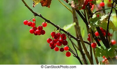 Bunches of red currant hanging in garden, close-up