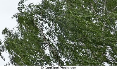 Birch tree in strong wind storm - Tall Birch tree swinging...