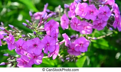 Pink phlox washed by rain - Pink phlox washed by a rain