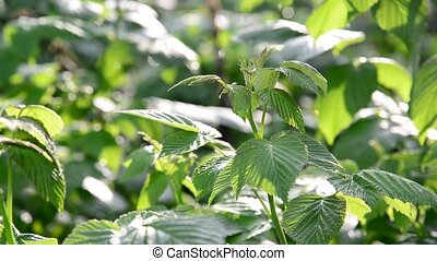Leaves of a young raspberry in garden during the day -...
