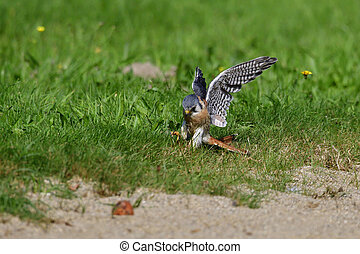American kestrel hunting on a meadow