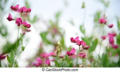 Pink wildflowers in the breeze