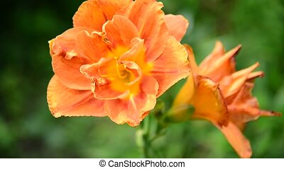 orange lily in flowerbed close-up - orange lily in the...