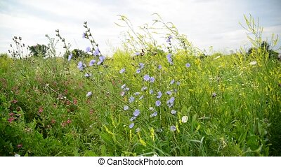 Blooming meadow in central part of Russia - Blooming meadow...